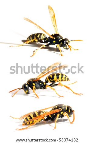 Collection of a live Yellow Jacket Wasps in different position on white background - stock photo
