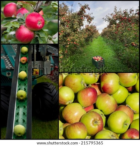 Collection of apples in orchard and apple harvesting - stock photo