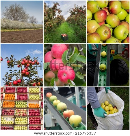 Collection of apples, in orchard, in crates and harvesting process - stock photo