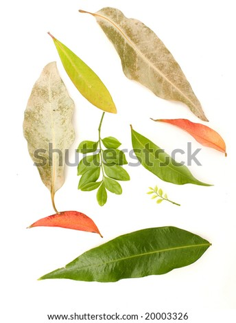Collection of Australian Gum leaves - stock photo