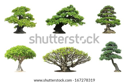 Collection of banyan or ficus bonsai tree isolated on white background  - stock photo