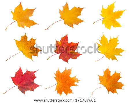 Collection of beautiful maple leaves isolated on white background - stock photo