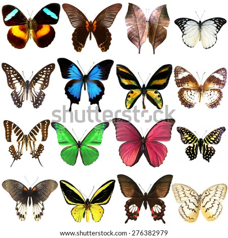 Collection of beautiful tropical butterflies isolated on white background,Set of realistic colorful tropical butterflies and insect, zoology, entomology, biology