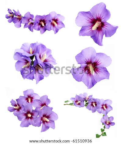 collection of blue hibiscus flowers - stock photo