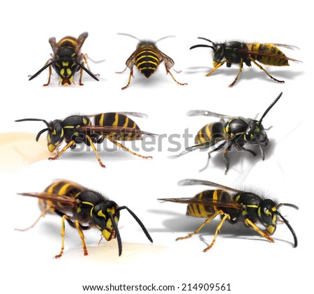 Collection of busy wasps isolated on white background - stock photo