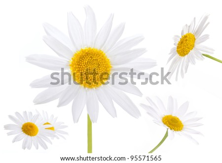 collection of chamomile flowers isolated on white background - stock photo