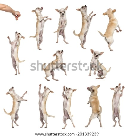 Collection of 12 Chihuahuas, differents position, isolated on white - stock photo