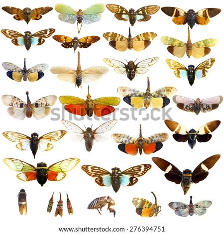 collection of cicada bug isolated  - stock photo