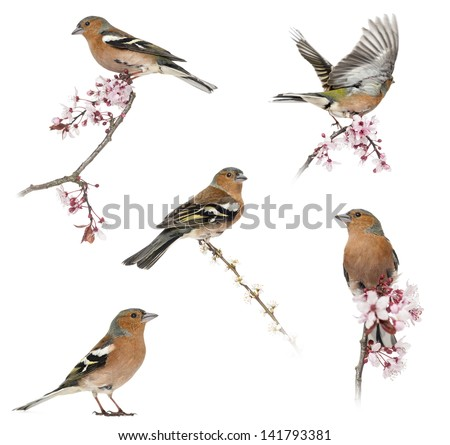 Collection of Common Chaffinch perched on a branch -Fringilla coelebs- isolated on white - stock photo
