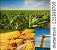 Collection of corn plant and corn cob images - stock photo