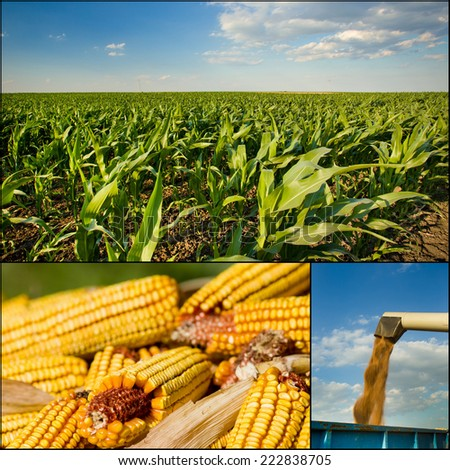 Collection of corn plant and corn cob images