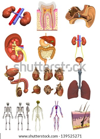 collection of 3d renders - male organs - stock photo