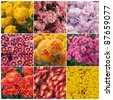 Collection of different species of chrysanthemums - stock photo