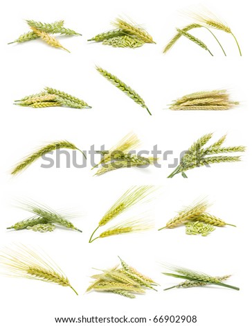 collection of ears of corn i - stock photo