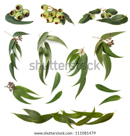 Collection of eucalyptus leaves and gum nuts, isolated on white. - stock photo