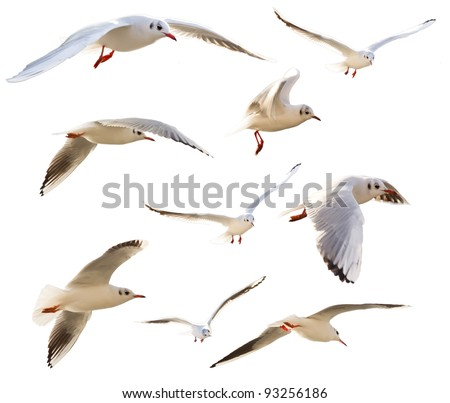 Collection of flying seagulls, isolated on white background - stock photo
