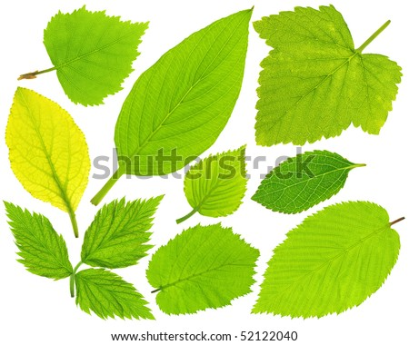Collection of fresh green leaves isolated on white - stock photo