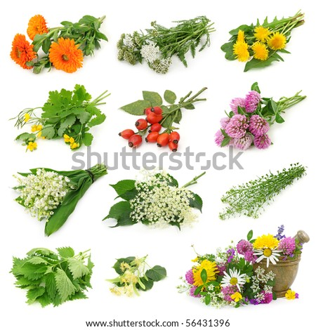 Collection of fresh medicinal herb isolated on white background - stock photo
