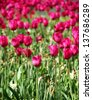 Collection of gentle pink tulips, nature background - stock photo