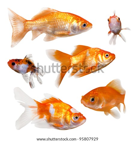 Collection of goldfish.  On clean white background.