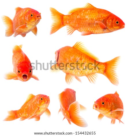 collection of goldfish pose on white background