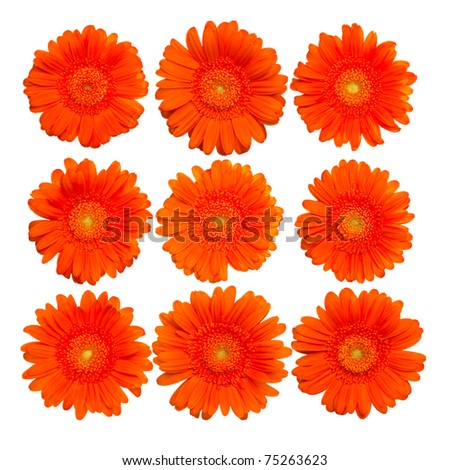 Collection of isolated orange gerberas blossom - close-up - stock photo