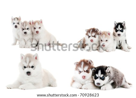 collection of little cute puppy of Siberian husky dog isolated