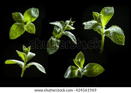 collection of mint leaves isolated on black background. studio close-up. - stock photo
