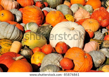 Collection of multiple pumpkins - stock photo