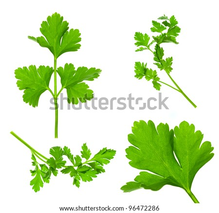 Collection of Parsley Twigs / Macro and Super Macro / XXXL size - stock photo