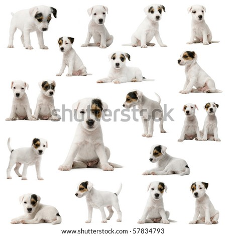 Collection of Parson Russell Terrier puppies in front of white background