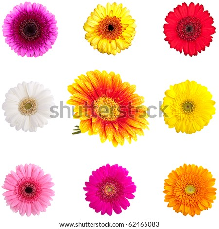 Collection of Perfect Gerber Daisies - completely isolated on white - stock photo