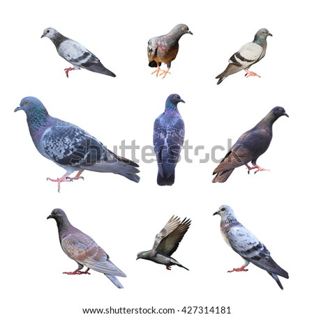 Collection of pigeons isolated over white background