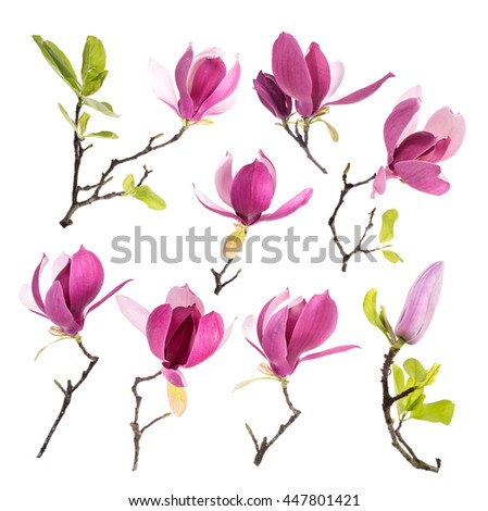collection of pink magnolia flowers isolated on white background - stock photo