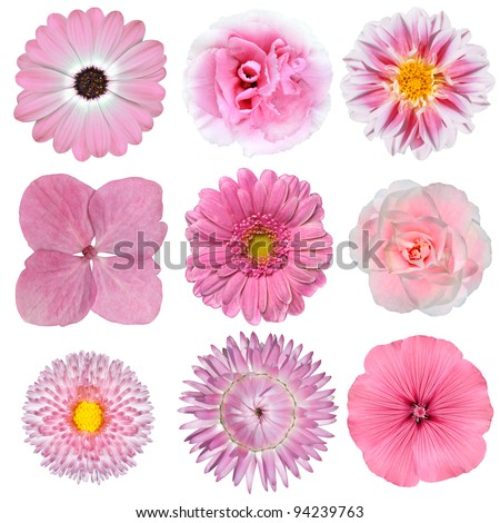 Collection of Pink White Flowers Isolated on White Background. Selection of Daisy, Carnation, Chrysanthemum, Hydrangea, Gerber, Rose, Strawflower, Petunia - stock photo