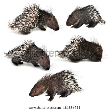 collection of porcupine isolated on white background - stock photo