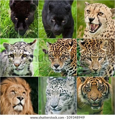 Collection of portraits of all big cats black leopard, black jaguar, cheetah, clouded leopard, jaguar, leopard, lion, snow leopard, tiger in captivity - stock photo