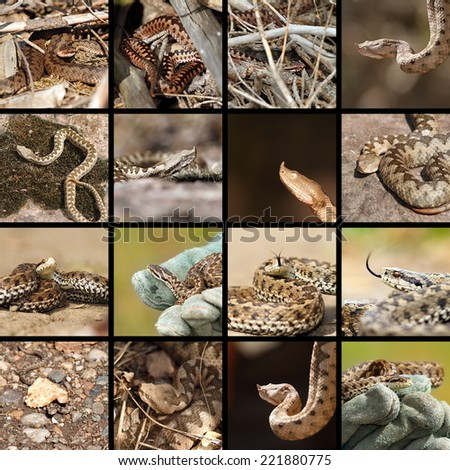 collection of romanian vipers ( Vipera berus, ammodytes and ursinii )