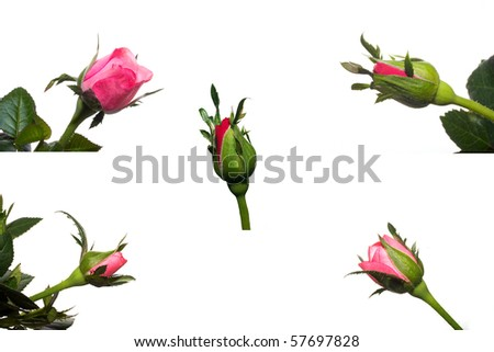 collection of roses on the white background
