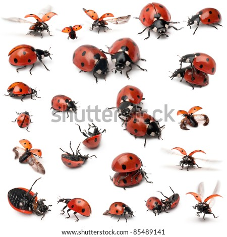 Collection of Seven-spot ladybirds, Coccinella septempunctata, in front of white background - stock photo