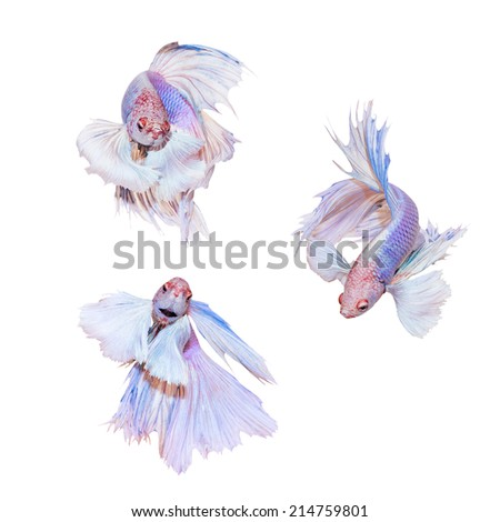 Collection of Siamese fighting  fish  - stock photo