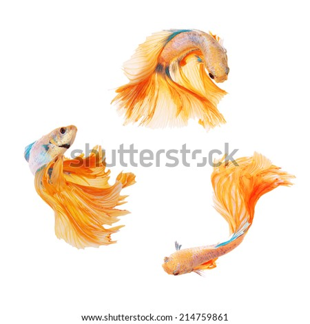 Collection of siamese fighting fish, betta splendens, yellow dragon betta female isolated on white background  - stock photo