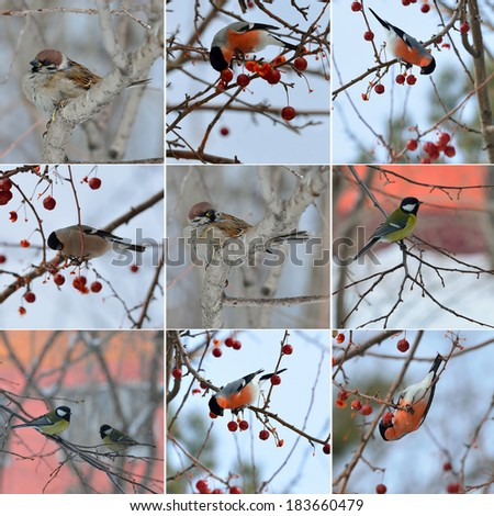 collection of small birds in winter time. sparrow, titmouse, bullfinch - stock photo