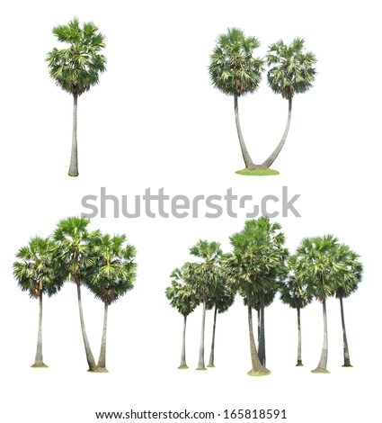 Collection of sugar palm tree isolated on white background  - stock photo