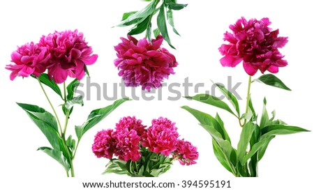 Collection of summer flowers isolated on white background. peony - stock photo