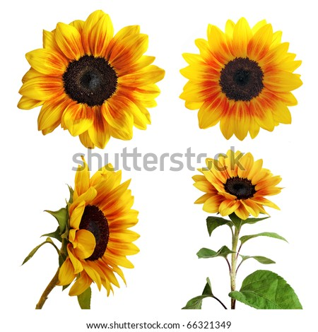 Collection of sunflower - stock photo