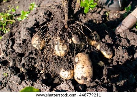 Collection of the potato crop in a field - stock photo
