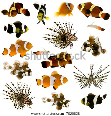 Collection of 17 tropical fish in different sizes and different positions in front of a white background - stock photo