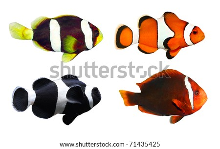 Collection of Tropical reef fish - Clownfish (Amphiprion ocellaris, Amphiprion polymnus, Amphiprion allardi, Amphiprion melanopus) - isolated on white background. - stock photo