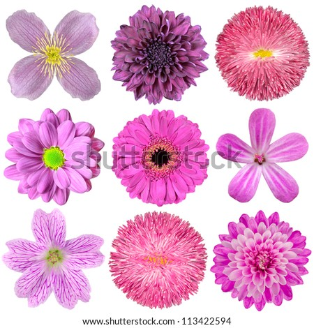 Collection of Various Pink, Purple, Red Flowers Isolated on White Background. Selection of Nine Periwinkle, Rose, CornFlower, Lily, Daisy, Chrysanthemum, Dahlia, Carnation, Primrose Flowers